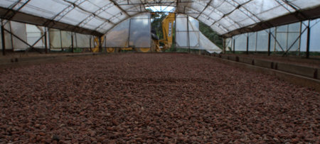 Cacao, the principal ingredient of chocolate, is native to Central America and Northern South America, and is now naturalized in many parts of the tropics