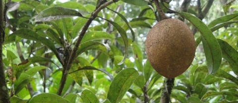 Non-Timber Tuesday: Sapodilla