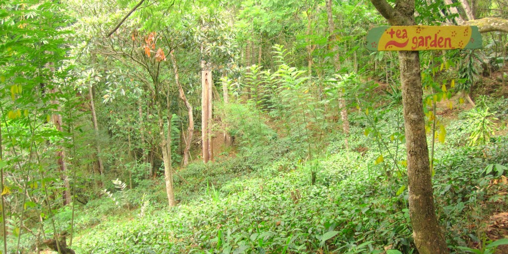 Biodiverse forest tea garden in Mirahawatte, Sri Lanka. Photo: K. Garden