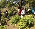 La forestería análoga y cultivos de té: un gran potencial