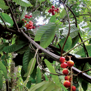 Guarana Fruit in Brazil
