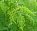 A plant with global potential: Moringa, the nourishing tree