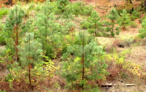 Temperate Zone Application of Analog Forestry Restoration