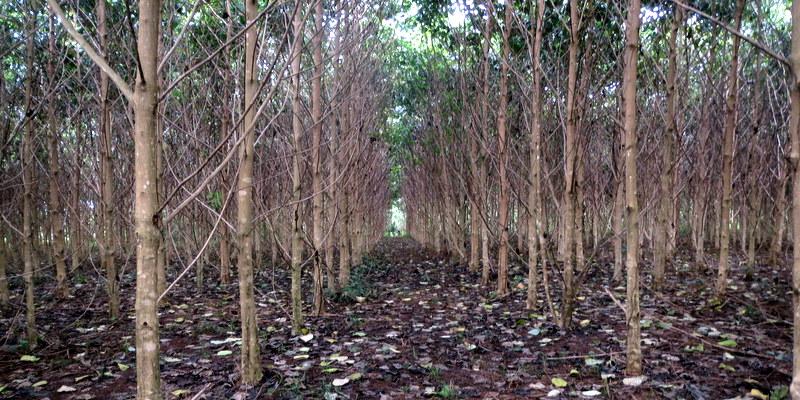 Monoculture plantation of Melina, Gmelina arborea. Photo: A. K. Dickinson