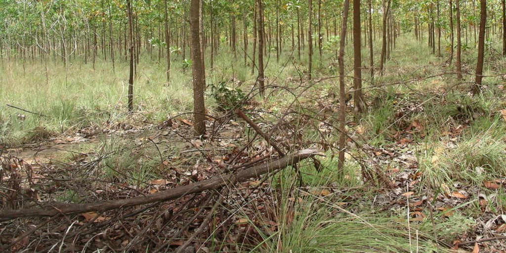 Acacia plantation in Vichada, Colombia. Used for biochar production and carbon sequestration. Photo: Tina Koutouleas