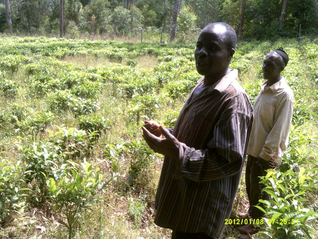 Tea farm in Ndu, Cameroon, showing signs of environmental degradation. Photo: CENDEP