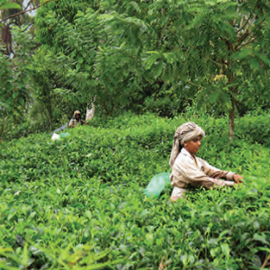 Harvesting Tea in Sri Lanka